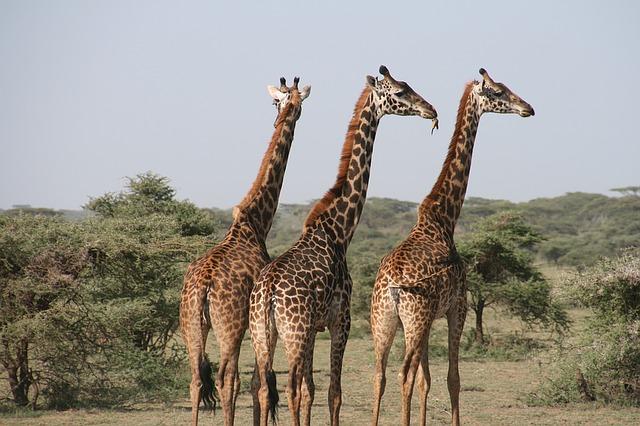 Žirafy v Afrike.jpg
