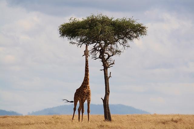 Žirafa kŕmenie.jpg